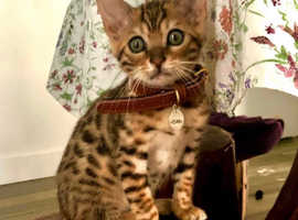 Amazing Bengal Boys And Girls For A Good Home Only