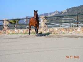 Young gelding with super movements and excellent riding qualities