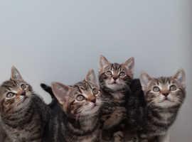 4 british short hair x tabby kittens