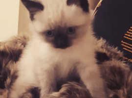 Chocolate point persain kittens