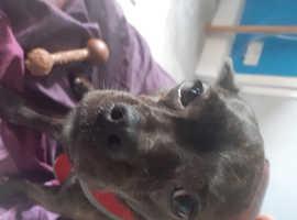 French Bulldog/Chihuahua