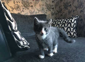CUTE grey/white  MALE KITTEN VET CHECKED CAN DELIVER