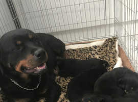 Pure Rottweiler puppies