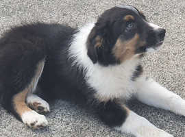 4 Border Collie Puppies for Sale!