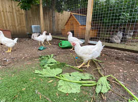 POL Pullets for sale