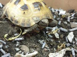 Tortoise plus viv
