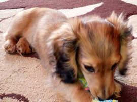 Miniature Long-haired dachshund puppy for sale