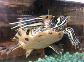 Male turtle