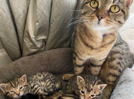 Beautiful Bengal Kittens For Sale