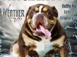 **STUD DUTIES** Choc Tri English Bulldog