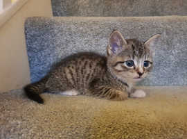 Very friendly tabby kitten. Available NOW