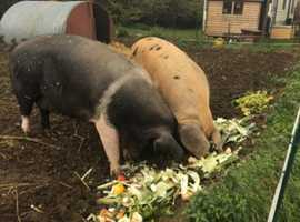 Good home needed for two sows
