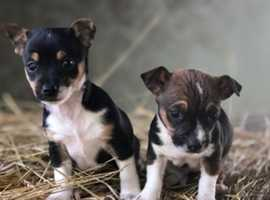 Adorable Chussell Puppies