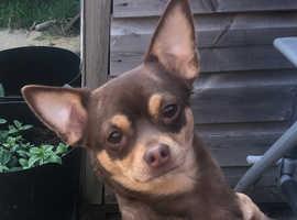 Pomchi puppies due mid July