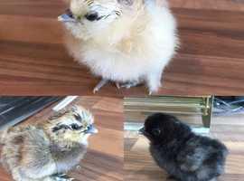 Unsexed Silkie chicks