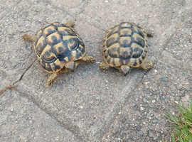 2 herman tortoises