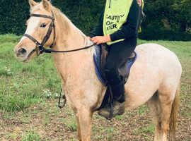 Pony club palomino spot mare