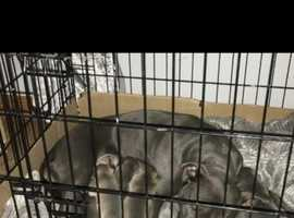 8 Beautiful Blue Staffordshire Puppies For Sale