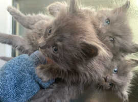 Ragcoons ready to rehome beginning october