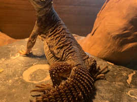 Young uromastyx and 3ft setup