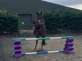 15.3 6 year old dark bay gelding