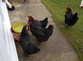 Black Rock Hens For Sale