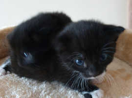 A litte of three healthy kittens for sale