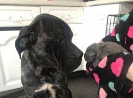 Khalid Chinigi cane corso puppies, 5 boys and 2 girls puppies