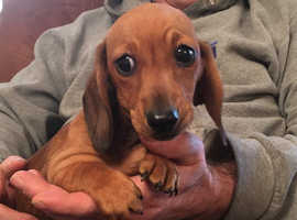 Affordable miniature smooth haired dachshund pups