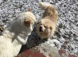 Chows Kc Registered puppies