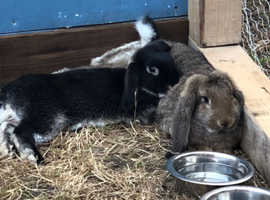 Lovely Chunky Dwarf Lop Black Otter Boy - fully vaccinated