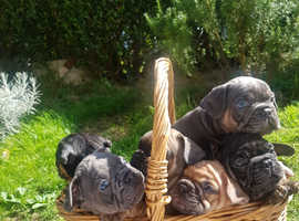 Rainbow litter of French Bulldogs