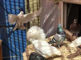 Jacobin pigeon for sale cock bird £40
