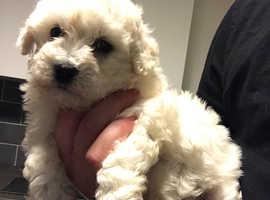 1 female left poochon puppies for sale