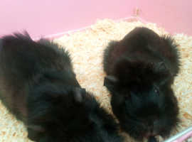 2 Male Guinea Pigs For Sale