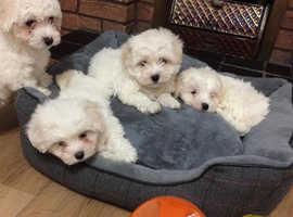 beautifull small breed bichon frise puppies