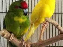 Pair of Kakarikis with cage