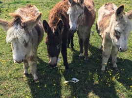 Pony donkeys for sale