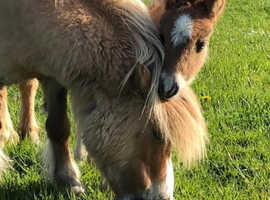 Exceptional Miniature Shetland Filly