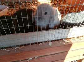 baby mini lop rabbits, well handled and used to children, micorchipped, hutch, cage, accessories