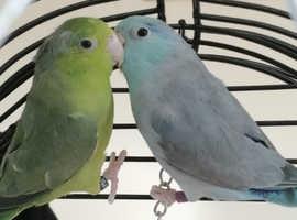 Parrotlets for sale