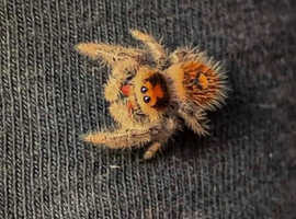 Regal jumping spiders unsexed slings
