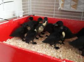 East indian ducklings
