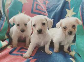 Dashound x Bischon puppies