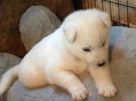 Fluffy white husky pup last 1 boy