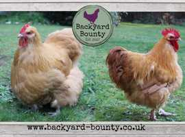Buff Orpington Chickens For Sale