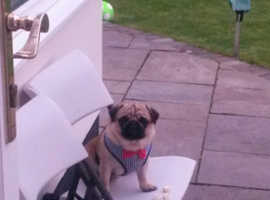 4 year old pug for sale
