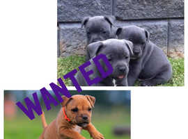 *Staffy puppy wanted*
