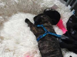 Jug puppy 10 weeks old