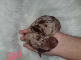 8 mini dachshund puppys